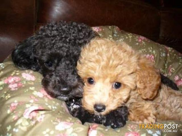 Beautiful tiny toy poodle puppy