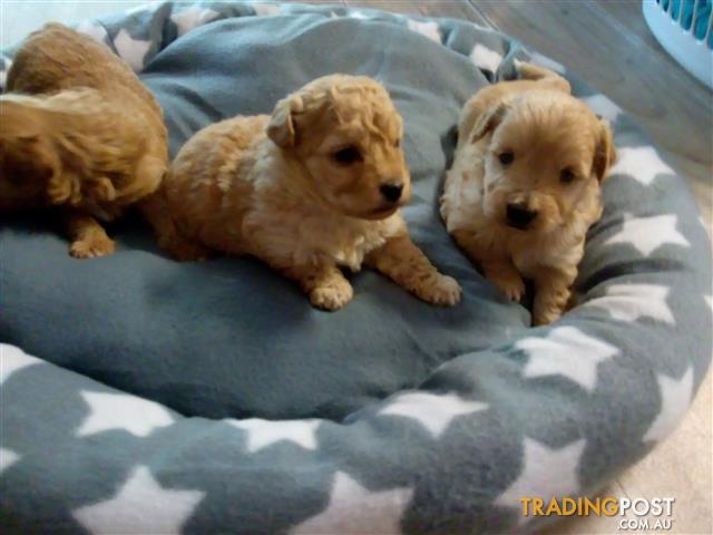 Moodle puppies for sale in penrith nsw moodle puppies moodle puppies solutioingenieria Gallery