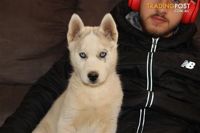 Find Siberian Husky puppies for sale in Australia