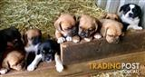Adorable Puggle Puppies (Pug x Beagle)