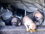 Puggle puppies (Pug x Beagle)
