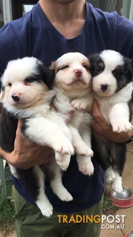 Australian-Shepherd-Puppies