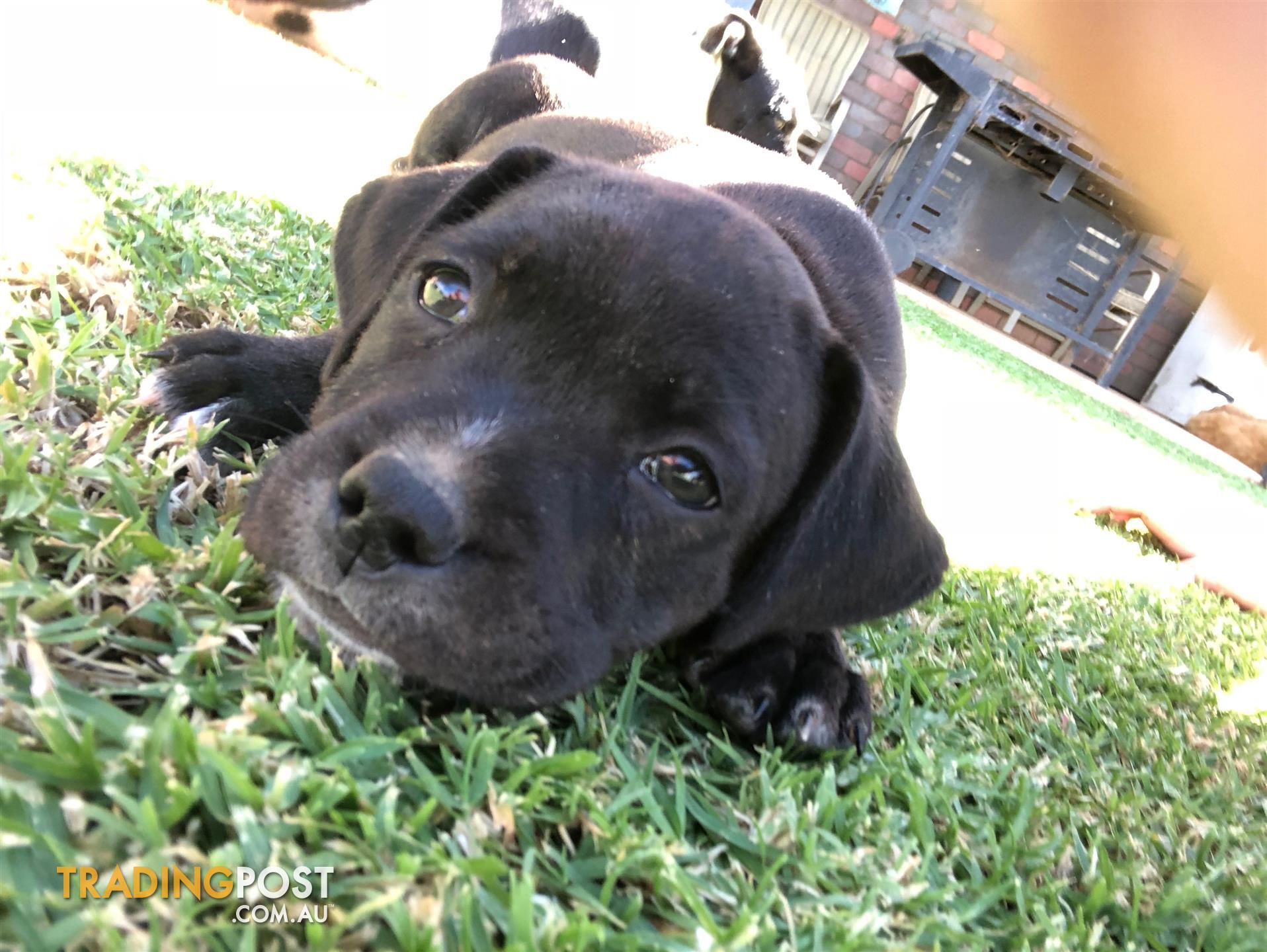 9 week old staffordshire terrier puppies for sale in echuca vic send message solutioingenieria Choice Image