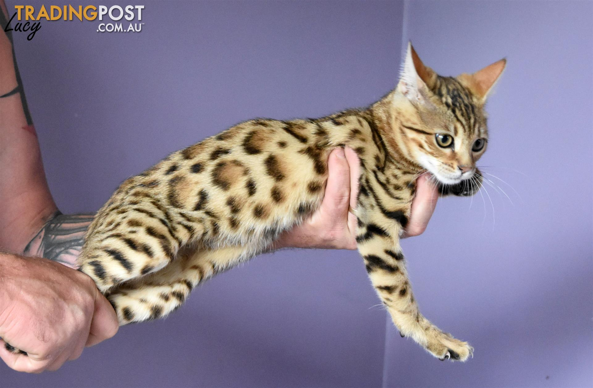 bengal kittens for sale in Armidale NSW | bengal kittens