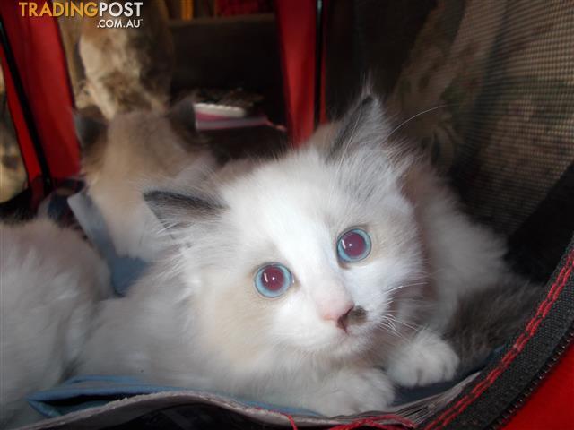 Ragdoll Kitten Female