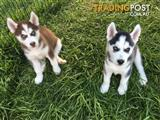 2 male Husky puppies for sale