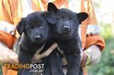 Solid Black German Shepherd Pups