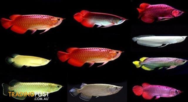 Super Red Arowana Fish Black Diamond Stingray Fishes Available