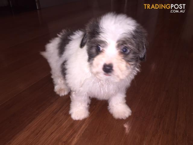 view all dogs for sale in australia