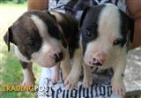English x American staffy puppies