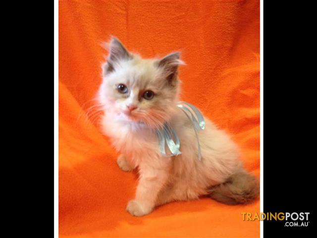 RagDoll Lilac Bi-Colour Male Kitten