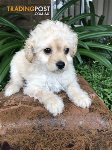 Cavoodle puppy seeking his forever home