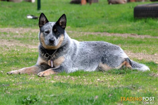Australian-Cattle-Dog-Red-Heeler-Female-pups-ANKC-registered