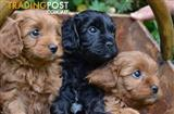 Wanted: Male cavoodle wanted for breeding